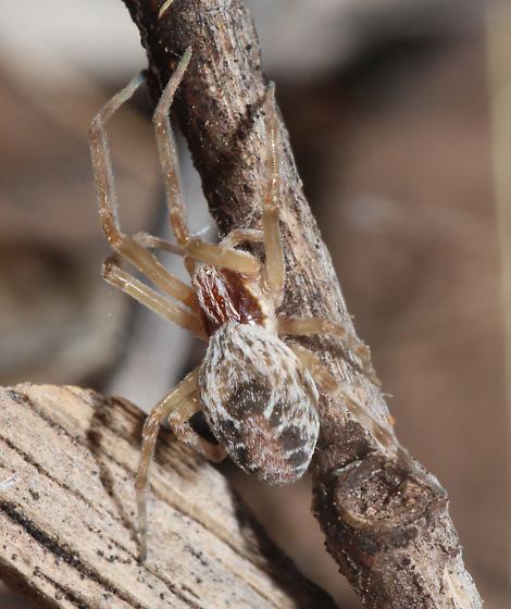 Spider Huachuca Mtns