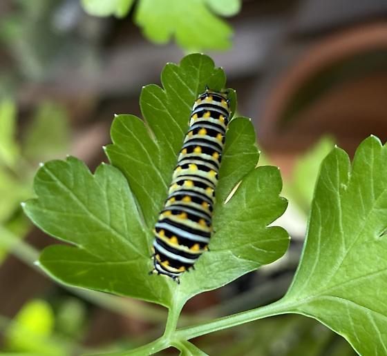 On My Parsley 2 - Papilio polyxenes