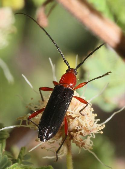 Red and black beetle - Stenosphenus sobrius