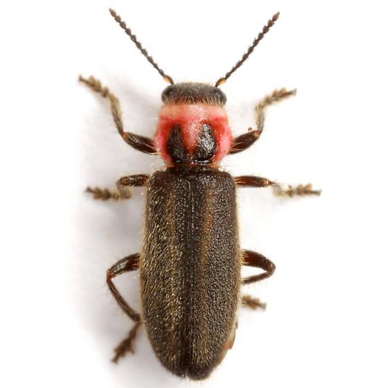 Perilypus ornaticollis (LeConte) - Perilypus ornaticollis