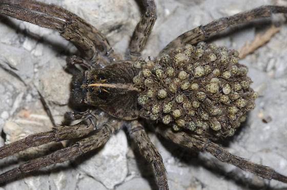 Wolf Spider with babies - Tigrosa - female