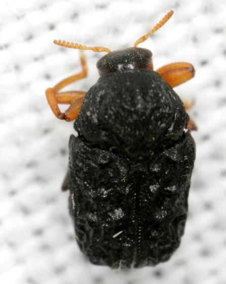 Warty Leaf Beetle - Chlamisus foveolatus