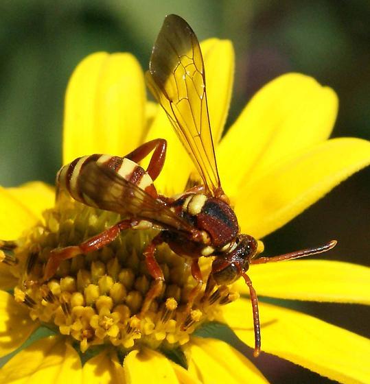 wasp? - Nomada utahensis