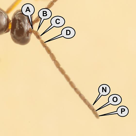 Aphidiinae - male