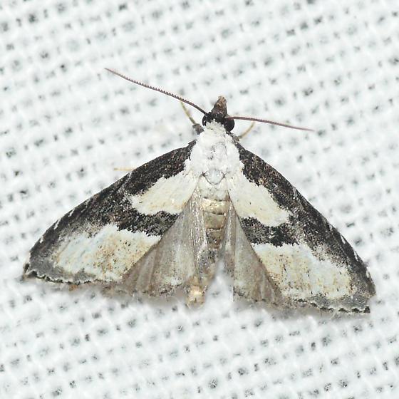 Moth 09.09.06 (2) - Nigetia formosalis
