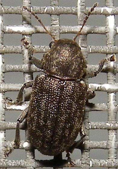 Southern Corn Leaf Beetle - Myochrous cyphus-denticollis