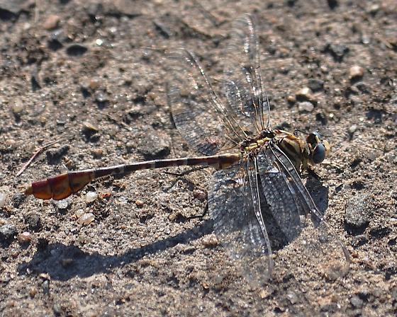 Dromogomphus spoliatus ? - Dromogomphus spoliatus