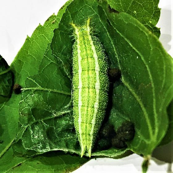 Butterfly caterpillar ID Request - Asterocampa celtis