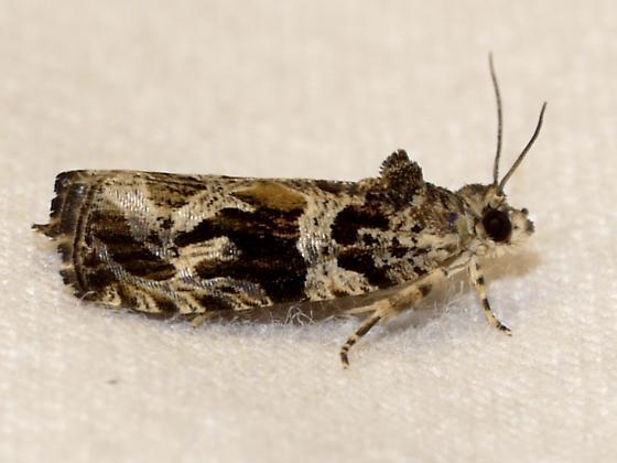 moth - Olethreutes atrodentana