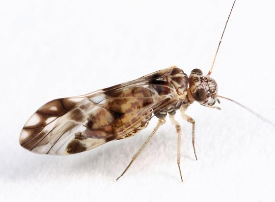 barklouse - Ptycta polluta