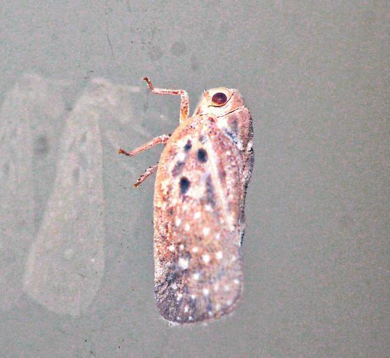 Leaf Hopper or Plant Hopper - Metcalfa pruinosa