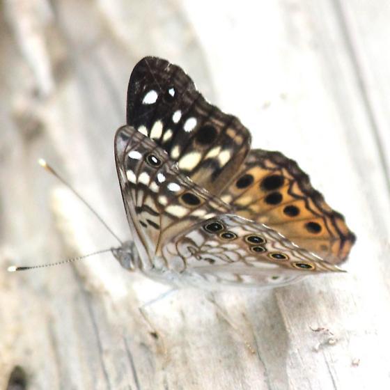 Hackberry Emperor - Partial Wing Spread - Asterocampa celtis