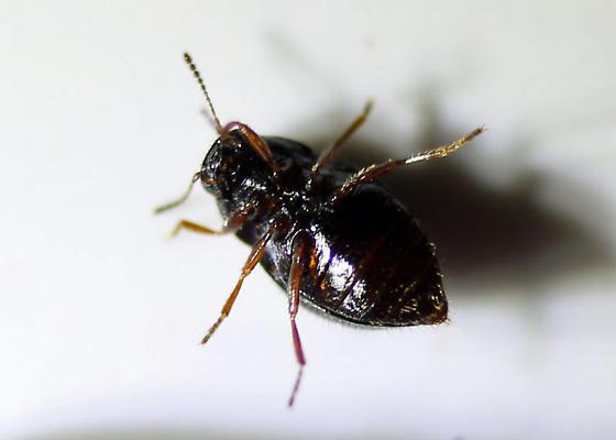 Small Green Beetle - Lioligus nitidus