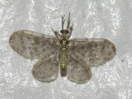 Tiny four-winged insect. - Nallachius americanus - male