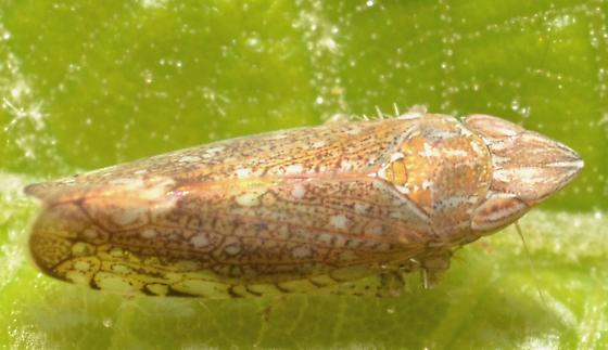 Cicadellidae ID - Scaphytopius