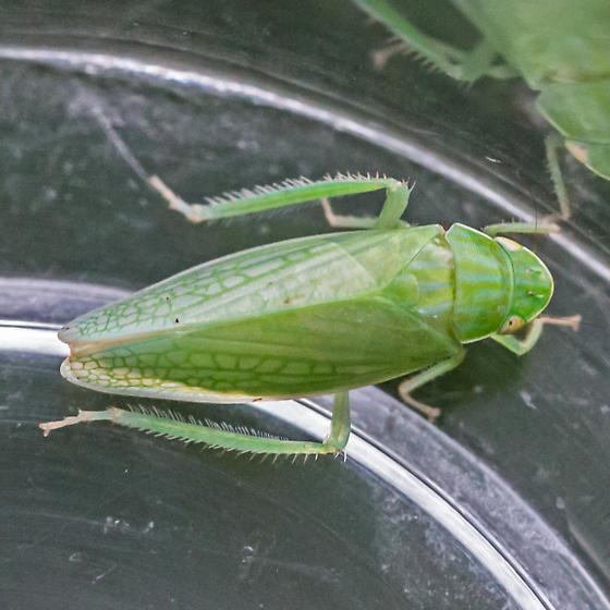 leafhopper - Gyponana - male