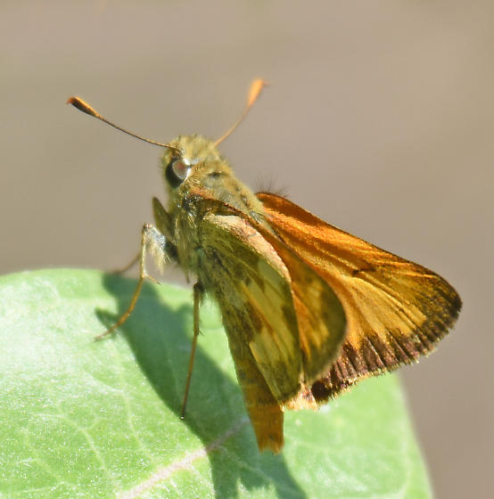 Taxiles Skipper - Poanes taxiles - male