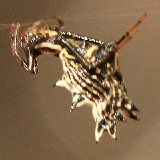 Multi-spined Spider - Lateral - Micrathena gracilis - female