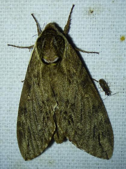 Ceratomia catalpae - Catalpa Sphinx? - Ceratomia catalpae