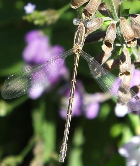 Southern Spreadwing ? - Lestes australis