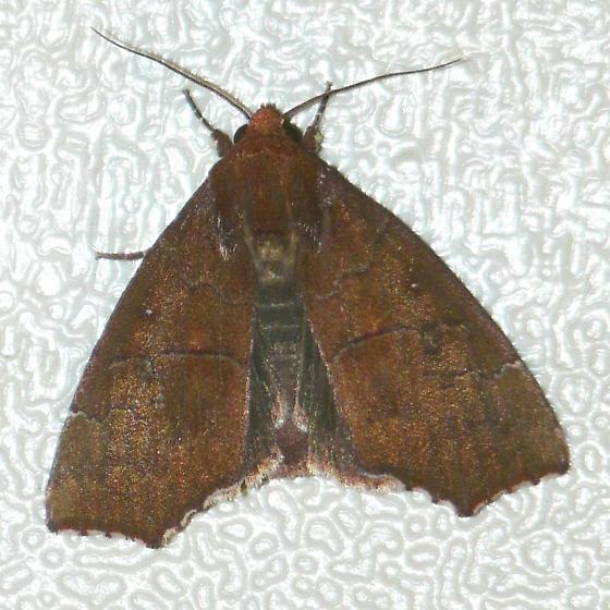 Hibiscus Leaf Caterpillar Moth? - Rusicada privata