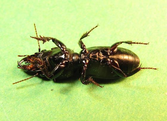 Carabidae likely Scarites species - Scarites subterraneus
