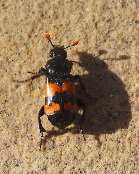 Burying Beetle (Nicrophorus sp.) ? - Nicrophorus