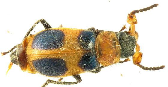 Collops quadrimaculatus - male