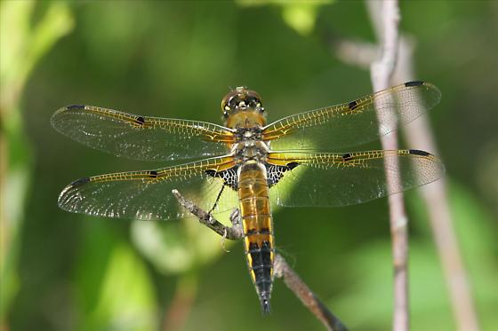 Four-spotted Skimmer - Libellula quadrimaculata - Libellula quadrimaculata - female