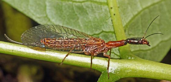 Snake Fly - Agulla - female