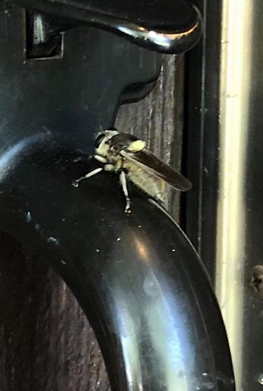 Large flying insect in Sacramento county, CA - Mallophora fautrix