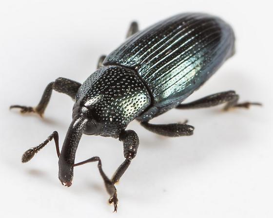 Weevil - Aulacobaris lepidii