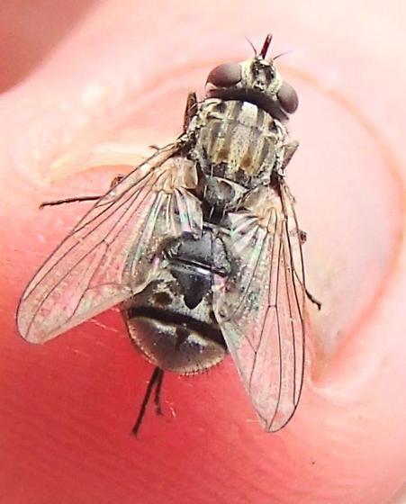 Gravid Fly? - Stomoxys calcitrans