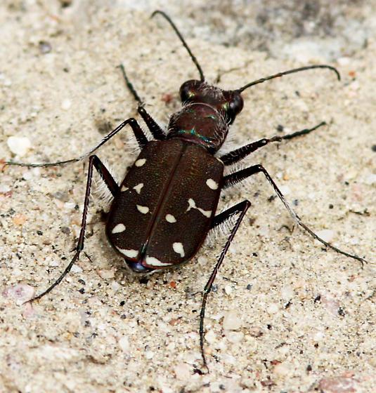 Twelve-spotted Tiger Beetle_Cicindela duodecimguttata - Cicindela duodecimguttata