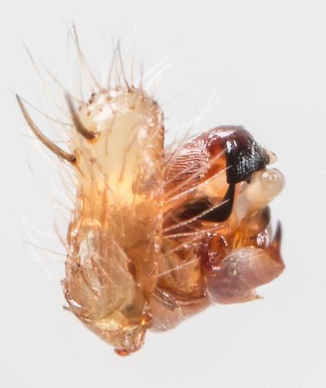Spider - Araneus cingulatus - male