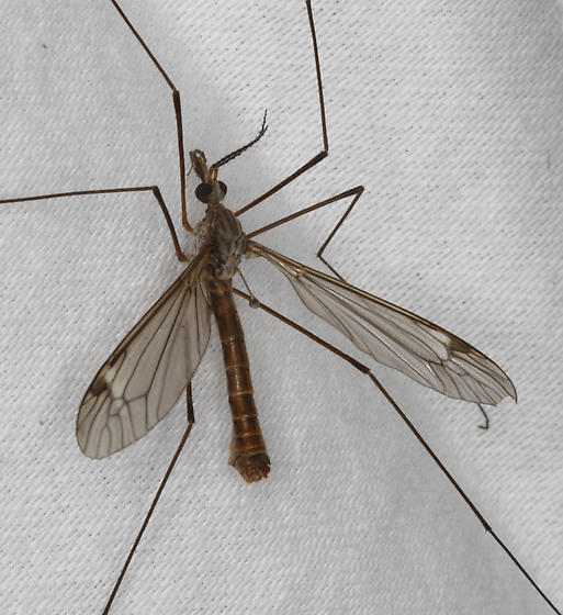 Crane Fly - Tipula - male