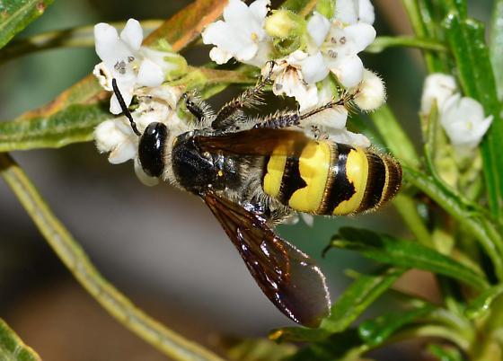 Wasp ID - Campsomeris pilipes - female