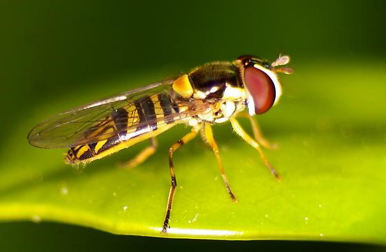 Flower Fly, Family Syrphidae?? - Allograpta obliqua - female