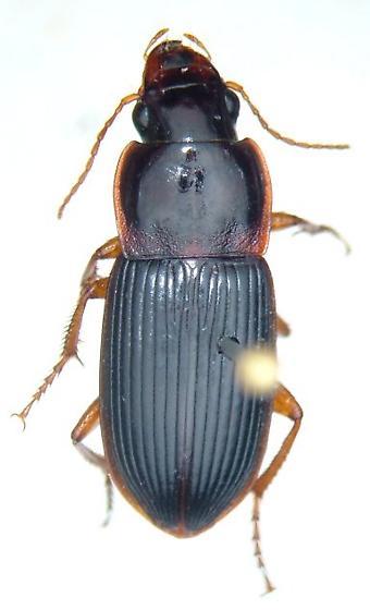 Harpalus faunus