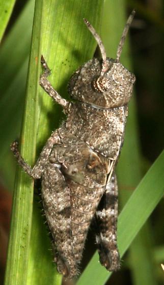 Grasshopper - Encoptolophus sordidus