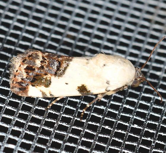 Tarache aprica - Exposed Bird Dropping Moth - Tarache aprica