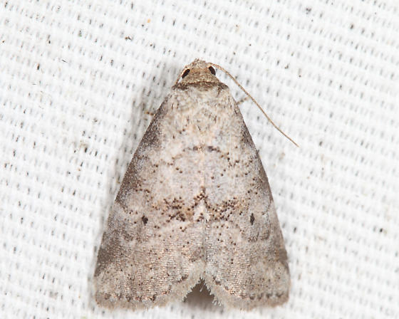 Dotted Graylet - Hyperstrotia pervertens