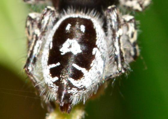 Bold Jumping Spider? - Phidippus putnami