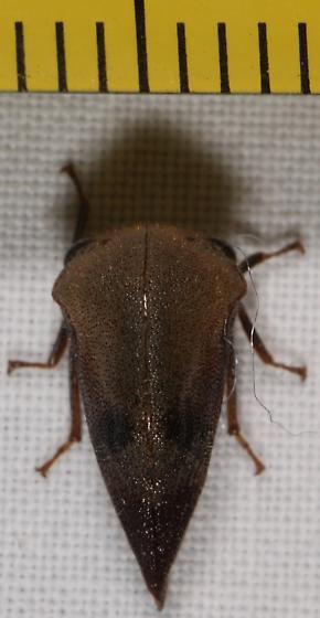 treehopper with broad head - Carynota mera