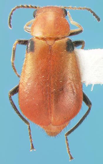 Melyrid - Attalus humeralis