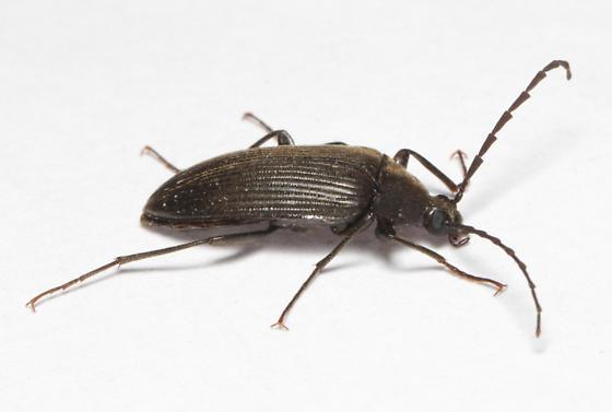 Tenebrionidae, lateral - Capnochroa fuliginosa