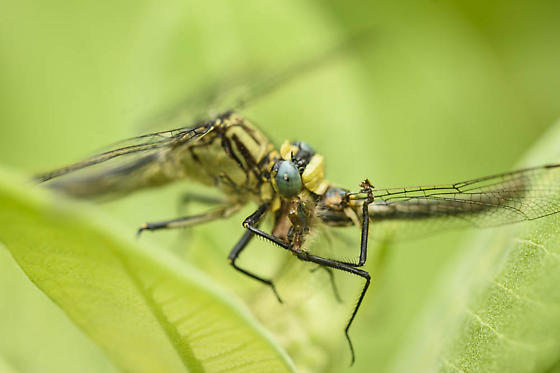 Dragonfly preying on other dragonfly - Arigomphus cornutus