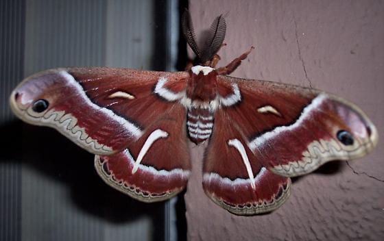 Brown Moth 1 - Hyalophora euryalus