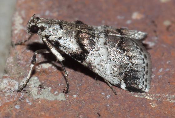 White and copper colored moth - Tallula atrifascialis