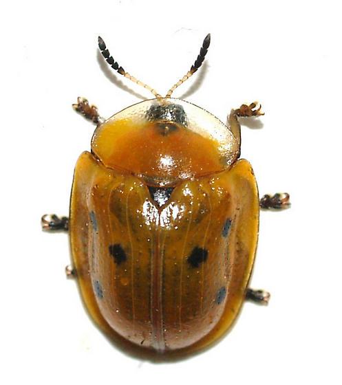 Cassidine - Jonthonota nigripes